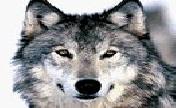 野狼部落家族
